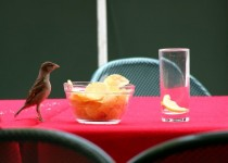 sparrow steals a chip